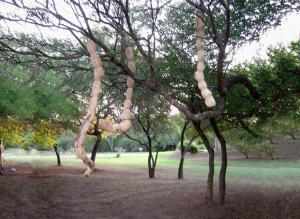 לורה מרקוס. התערבות באדמה. עץ. 1.5 על 2 מטר. ארגנטינה.